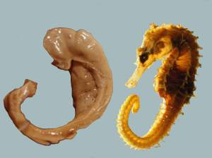 Hippocampus_and_seahorse